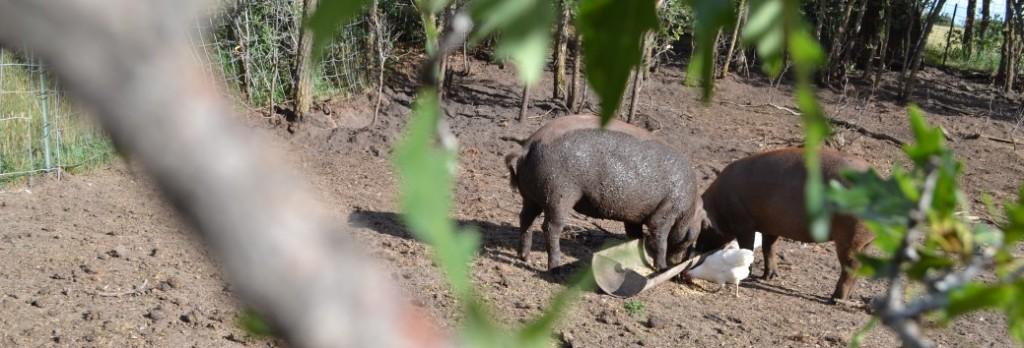 Heritage Breed Pork