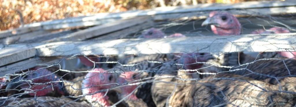 Narragansett Turkeys